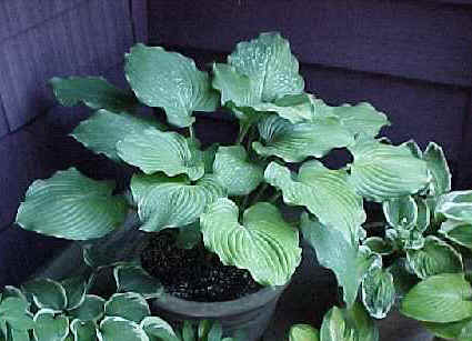 Hosta Komodo Dragon